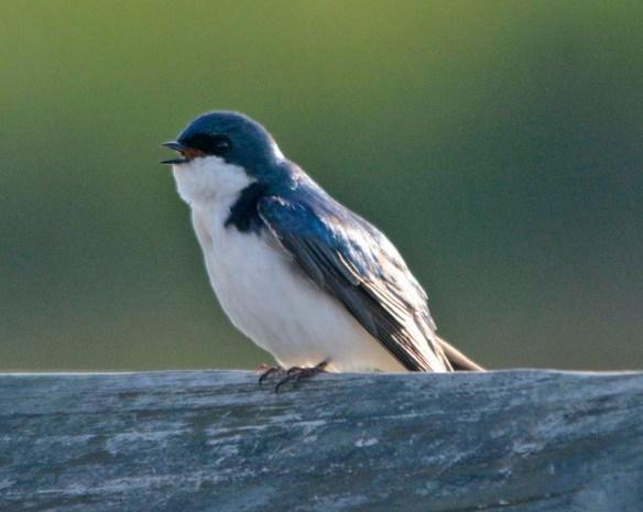 Tree Swallow 2018-23