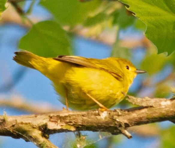 Yellow Warbler 2018-1