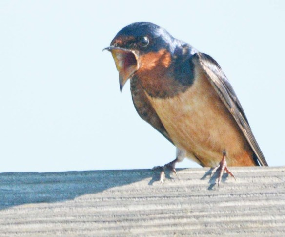 Barn Swallow 2018-6