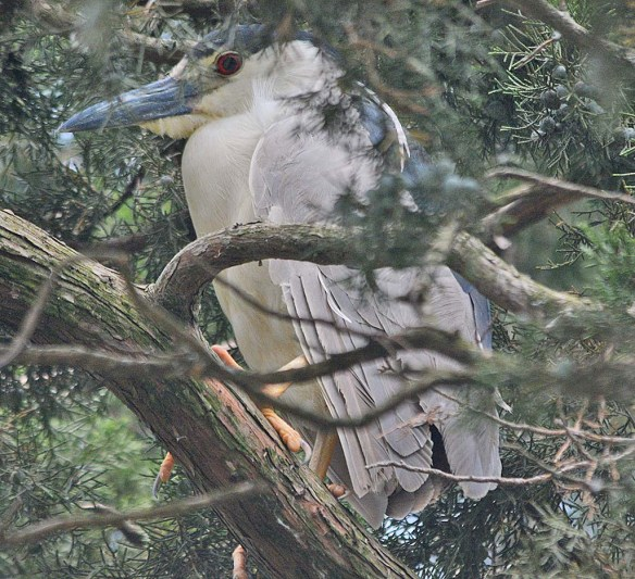 Black Crowned Night Heron 2018-6
