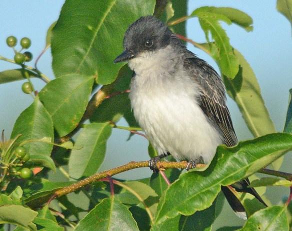 Eastern Kingbird 2018-12