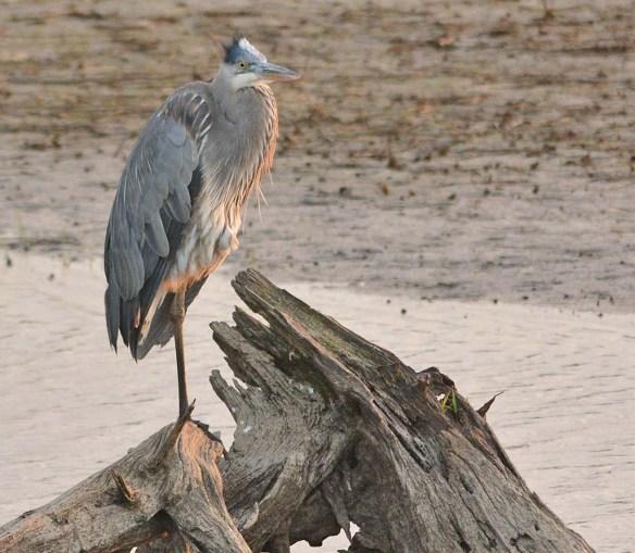 Great Blue Heron 2018-21