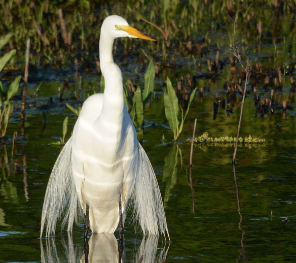 Great Egret 2018-14