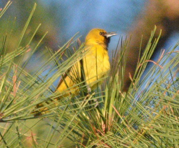 Orchard Oriole 2018-9