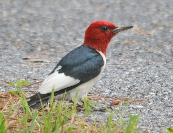 Red Headed Woodpecker 2018-33