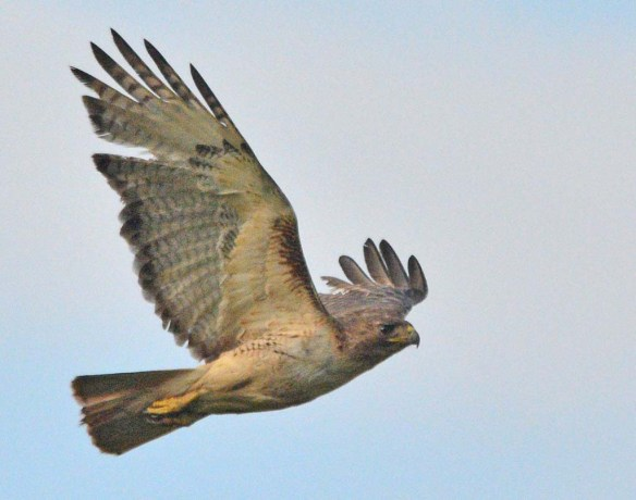 Red Tailed Hawk 2018-1