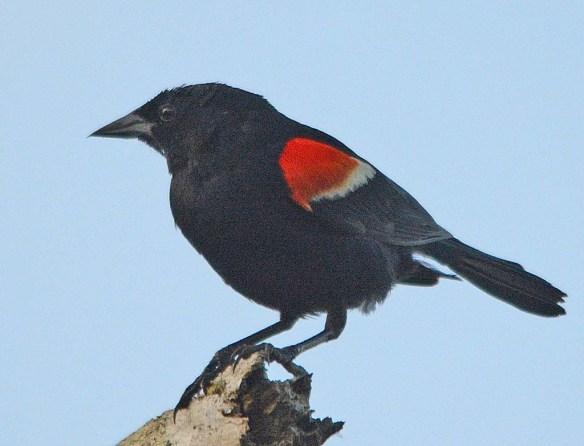 Red Winged Blackbird 2018-27