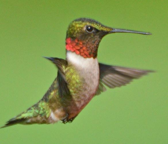 Ruby Throated Hummingbird 2018-2