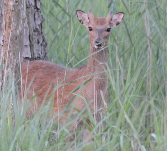 Sika Deer 2018-1