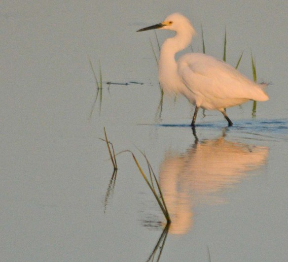 Snowy Egret 2018-4