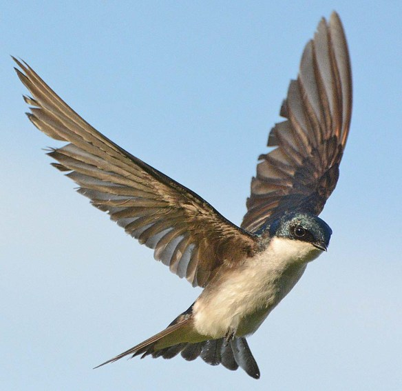 Tree Swallow 2018-29