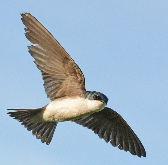 Tree Swallow 2018-30