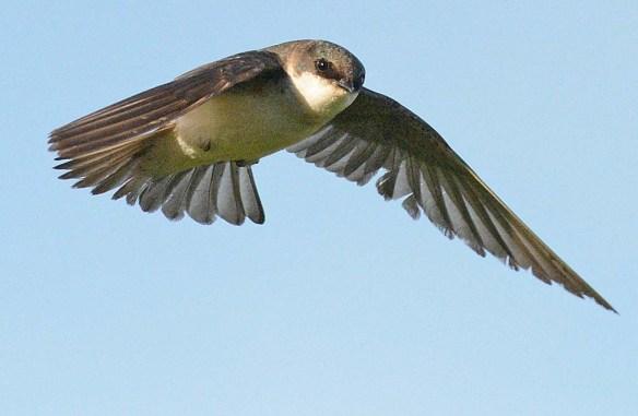 Tree Swallow 2018-31