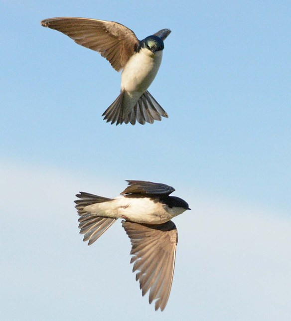 Tree Swallow 2018-32