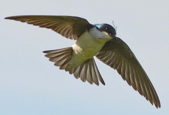 Tree Swallow 2018-35