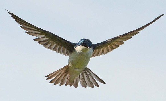 Tree Swallow 2018-36