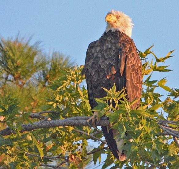 Bald Eagle 2018-58