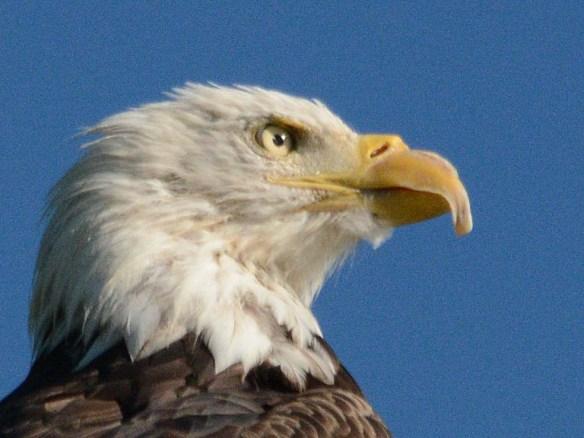 Bald Eagle 2018-59
