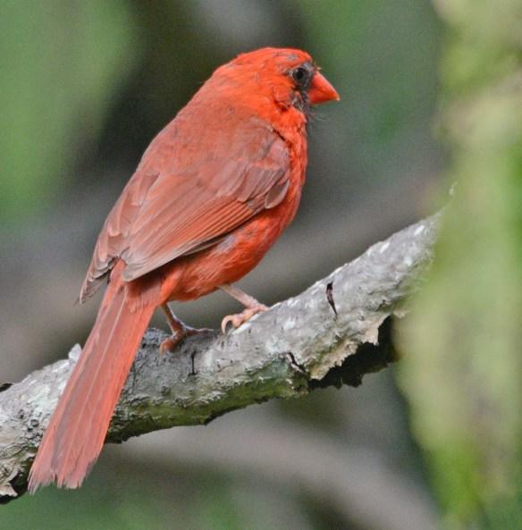 Cardinal 2018-13