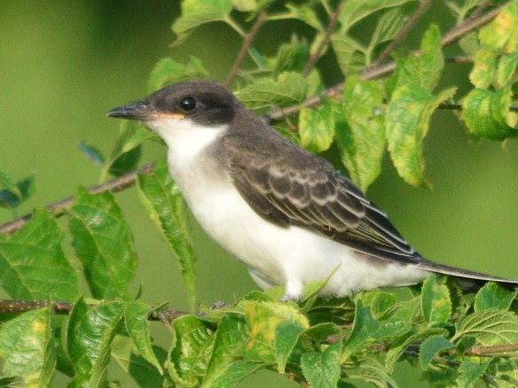 Eastern Kingbird 2018-20