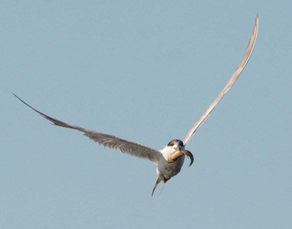 Forster's Tern 2018-88