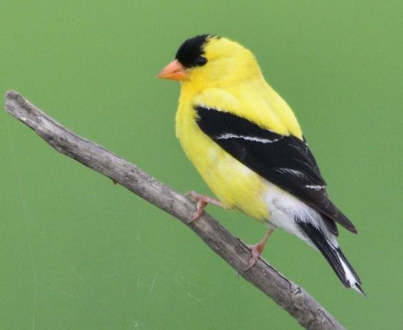 Goldfinch 2018-13