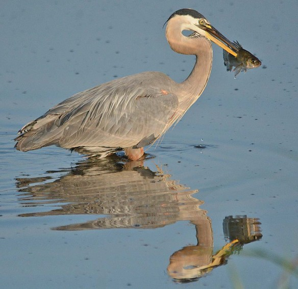 Great Blue Heron 2018-30