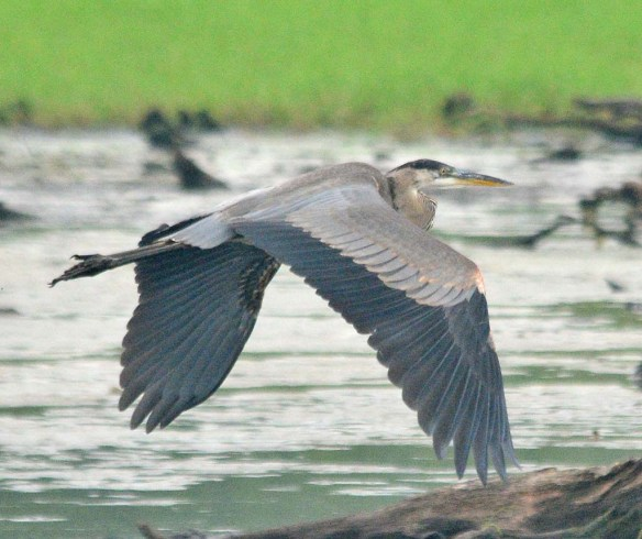 Great Blue Heron 2018-50