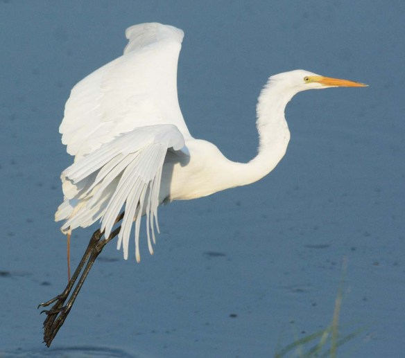 Great Egret 2018-41