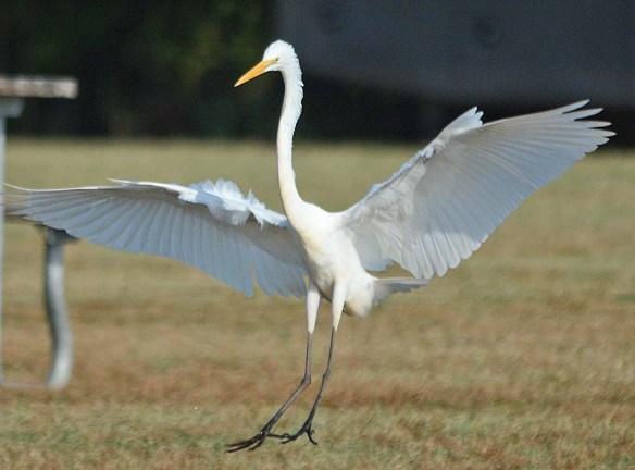 Great Egret 2018-48
