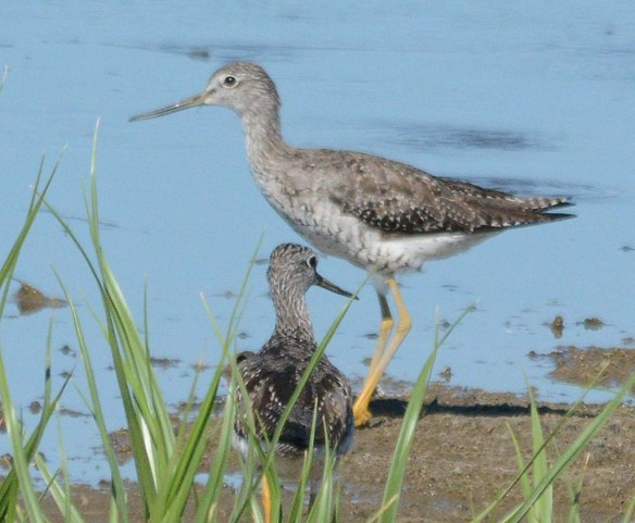 Greater Yellowlegs 2018-5