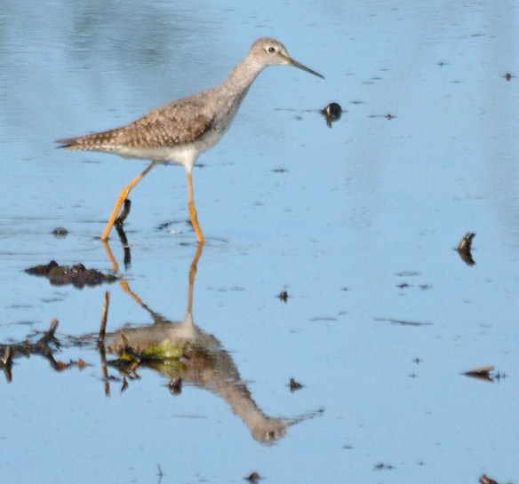 Greater Yellowlegs 2018-7