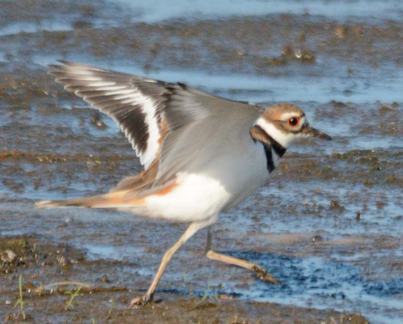 Killdeer 2018-1