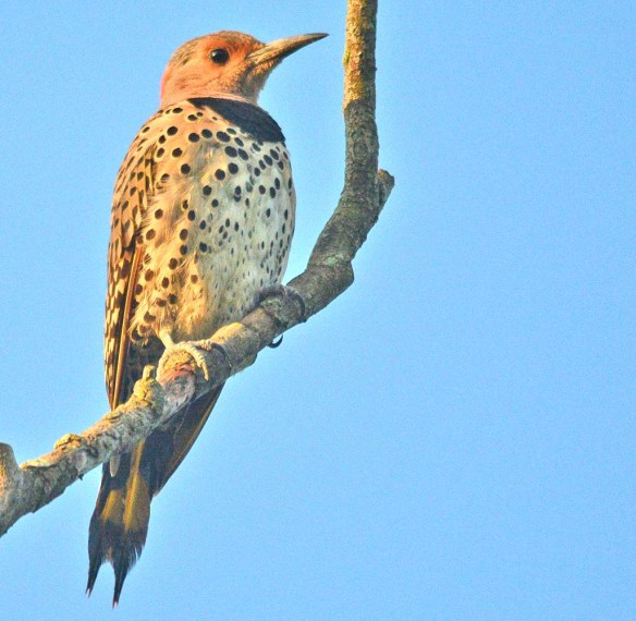 Northern Flicker 2018-4