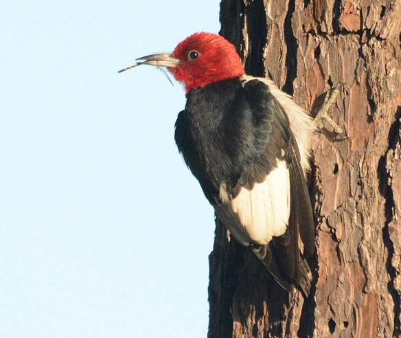 Red Headed Woodpecker 2018-34