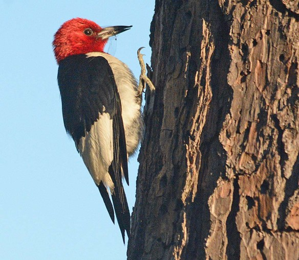 Red Headed Woodpecker 2018-35