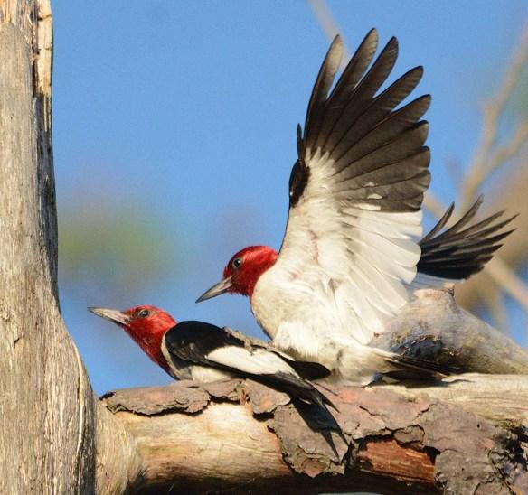Red Headed Woodpecker 2018-36