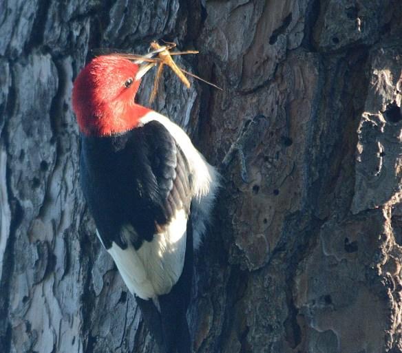 Red Headed Woodpecker 2018-39