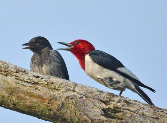 Red Headed Woodpecker 2018-49