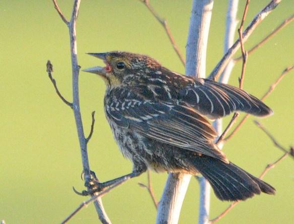 Red Winged Blackbird 2018-31
