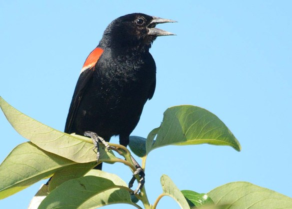 Red Winged Blackbird 2018-33