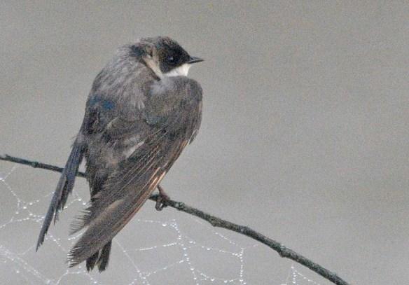 Tree Swallow 2018-47