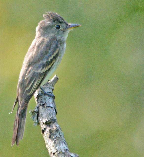 Acadian Flycatcher 2018-1