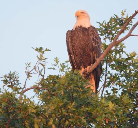 Bald Eagle 2018-62