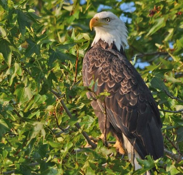 Bald Eagle 2018-63