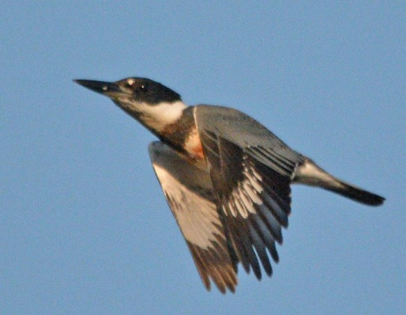 Belted Kingfisher 2018-2