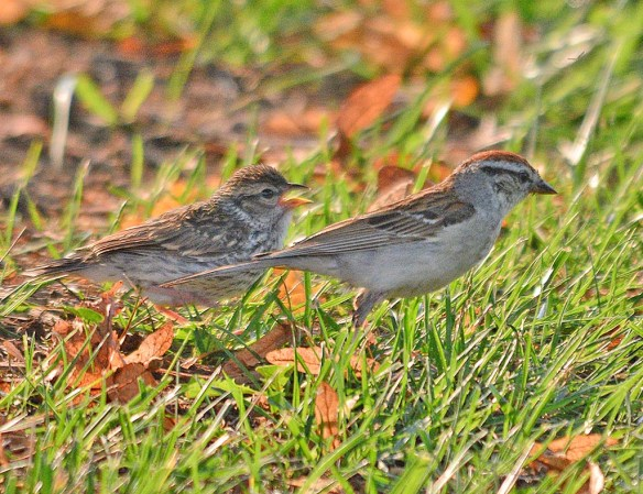 Chipping Sparrow 2018-4