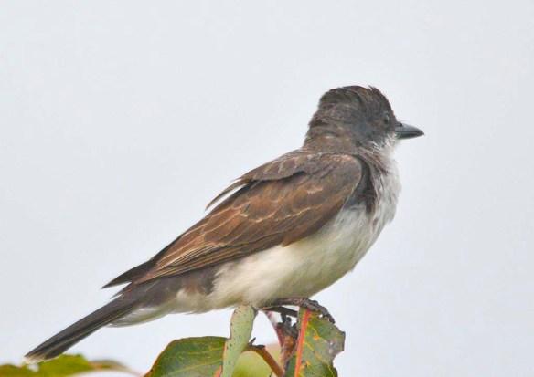 Eastern Kingbird 2018-26