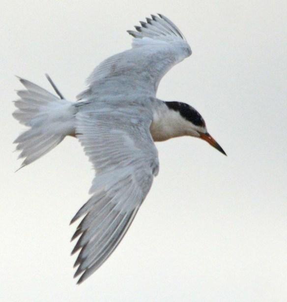 Forster's Tern 2018-99