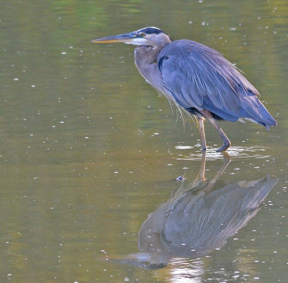 Great Blue Heron 2018-60